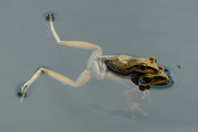 Frogs in the reservoir at Bhubing Palace Gardens