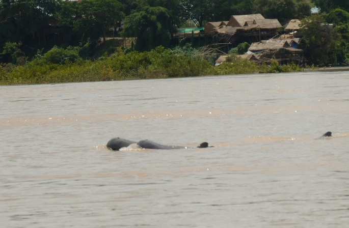 Irrawaddy Dolphins in Cambodia