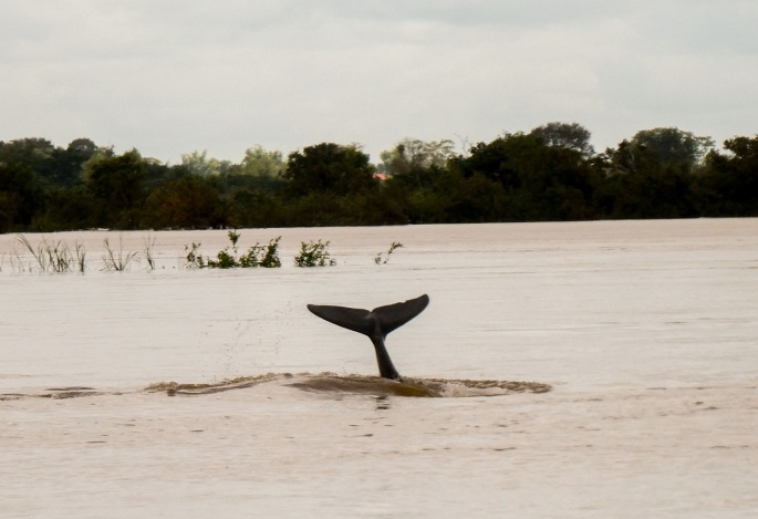 Irrawaddy dolphin tail flick