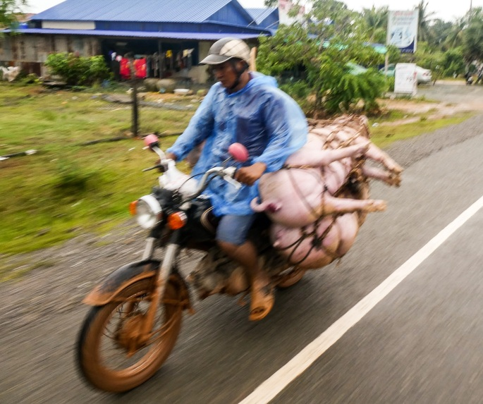 Man carries pigs on mototrbike